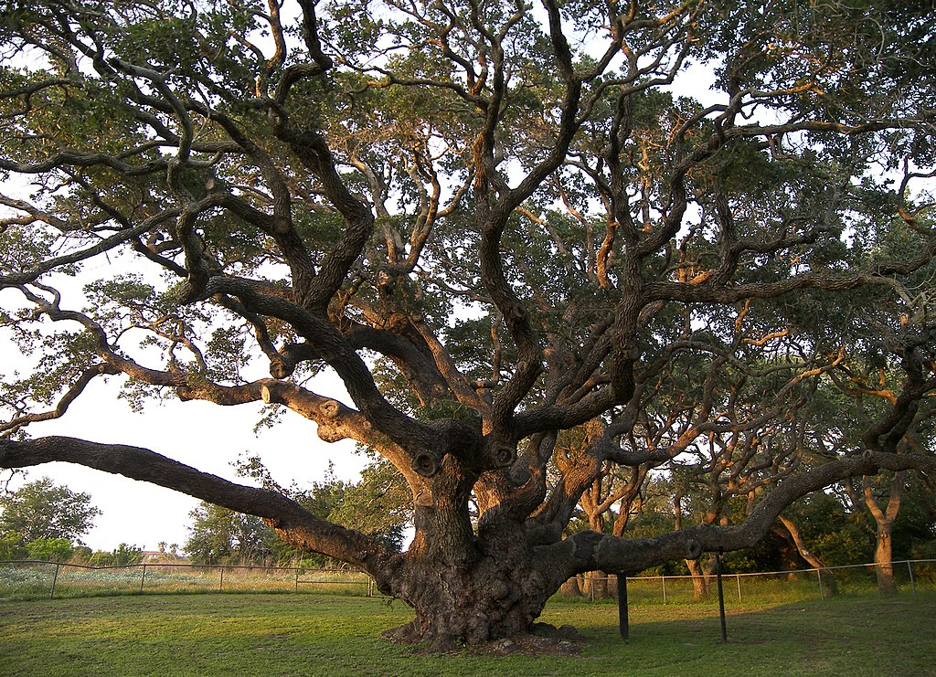 Live oaks are among the grandest and most resilient parts of Mid-Coast landscapes. The famous BigTreeGooseIslandStateParkRockport
