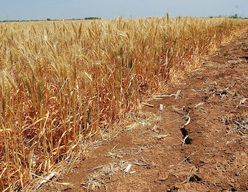 wheat and dried soil