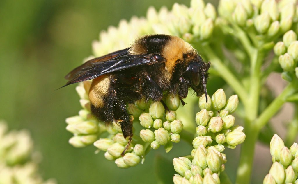 The black and gold bumblebee is one of nine bumblebee species known to inhabit Texas.