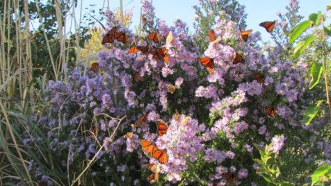 25 monarchs