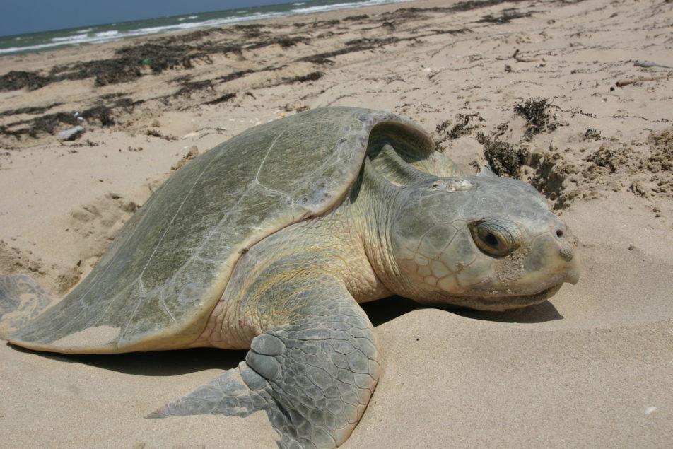 A Nesting Kemp's Ridley Sea Turtle