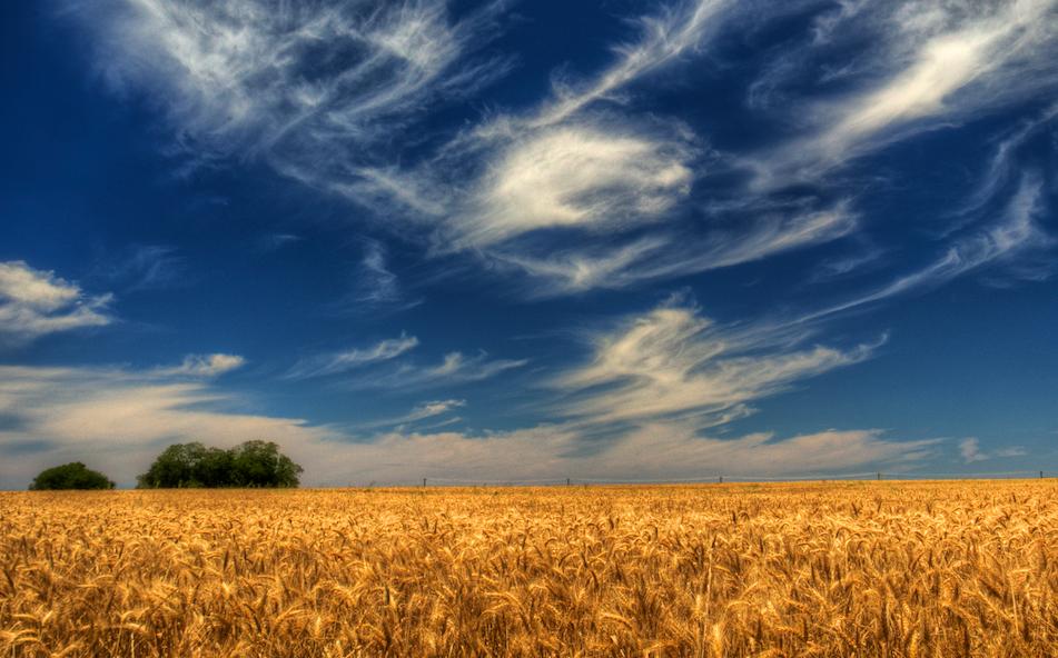 Texas_wheat