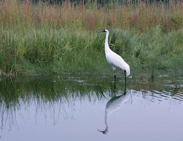 One crane in marsh